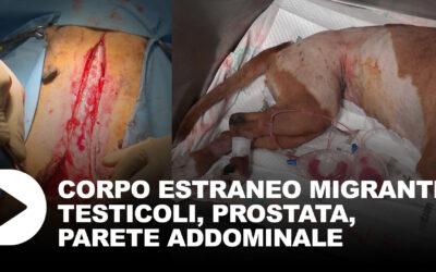 Corpo estraneo migrante testicoli